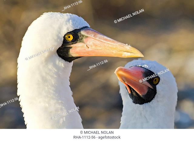 Nazca booby Sula grantii, Punta Suarez, Santiago Island, Galapagos Islands, UNESCO World Heritage Site, Ecuador, South America