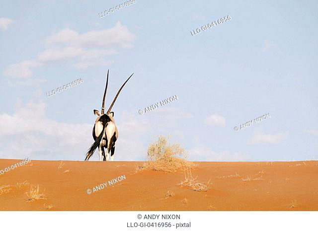 One gemsbok and camelthorn, Sossusvlei, Namib Desert, Namib-Naukluft National Park, Namibia