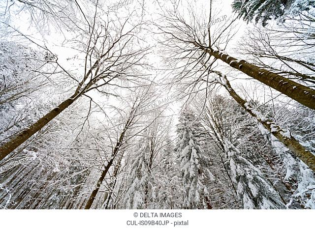 Snow covered trees, low angle view, Bavarian Forest National Park, Bavaria, Germany