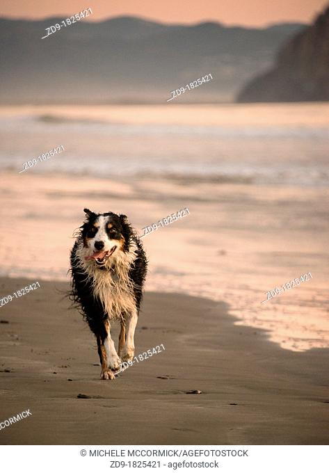 A tri-color border collie joyously runs along the beach at Morro Bay