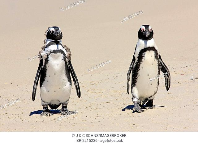 Two Jackass Penguins, African Penguins or Black-Footed Penguins (Spheniscus demersus), subadults on the beach, Boulder, Simon's Town, Western Cape, South Africa