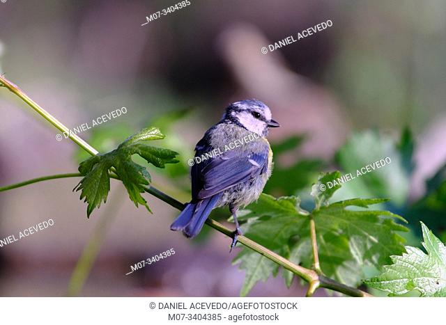 Eurasian blue tit (Cyanistes caeruleus), north of Spain