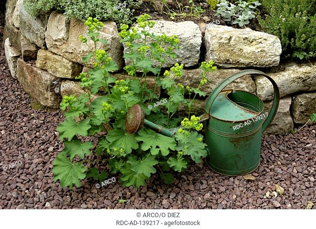 Lady's Mantle Alchemilla vulgaris watering can