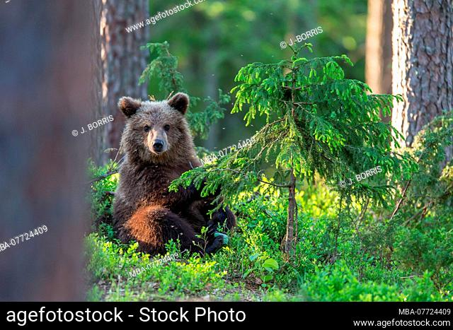 Brown bear, Ursus arctos, wildlife, Finland