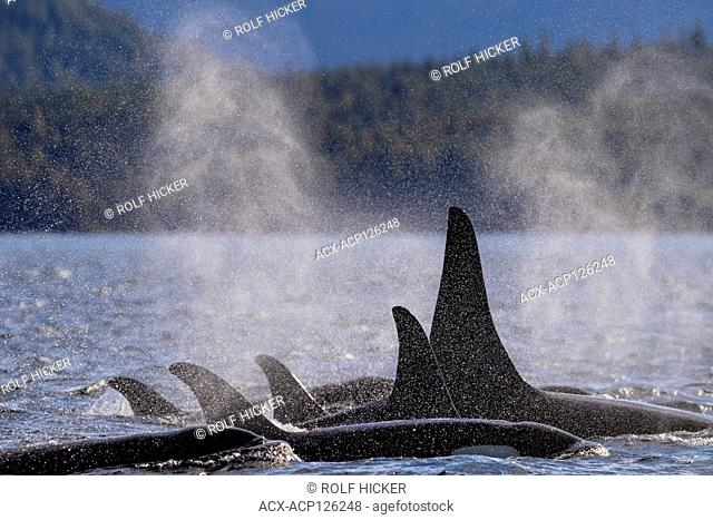 Family pod of northern resident killer whales resting in Queen Charlotte Strait along the Great Bear Rainforest Coast, First Nations Territory, British Columbia