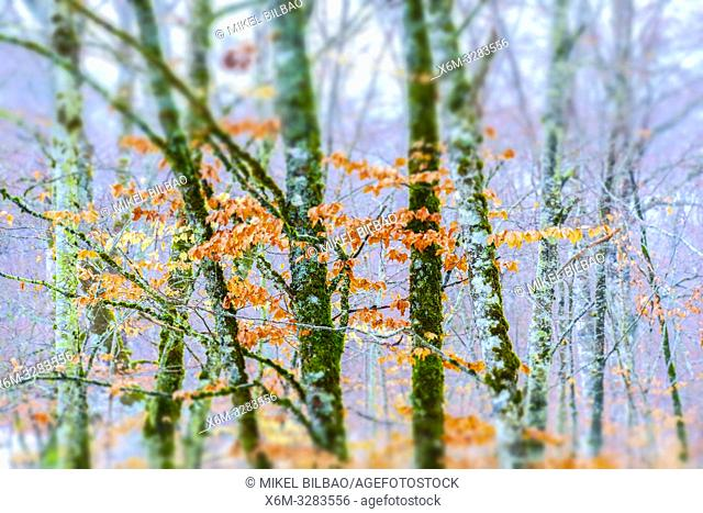 Beechwood in winter. Urbasa y Andia Natural Park. Navarre, Spain, Europe