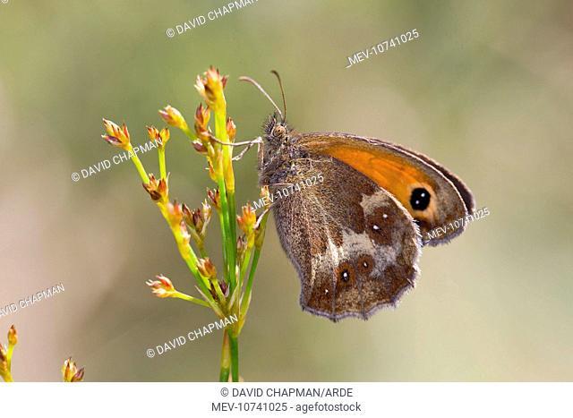 Gatekeeper Butterfly - Underwing (Pyronia tithonus)