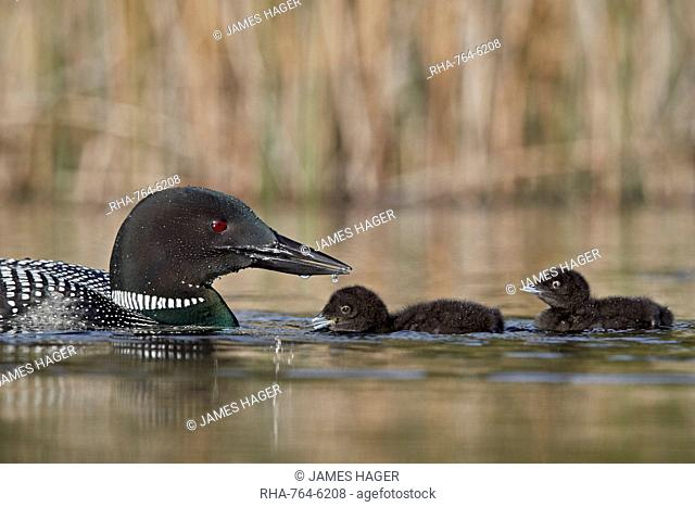 Common Loon (Gavia immer) adult and two chicks, Lac Le Jeune Provincial Park, British Columbia, Canada, North America