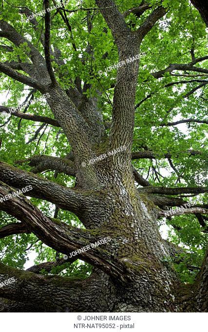 Low angle view of oak tree