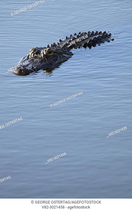 American alligator (Alligator mississippiensis), Ritch Grissom Memorial Wetlands at Viera, Florida