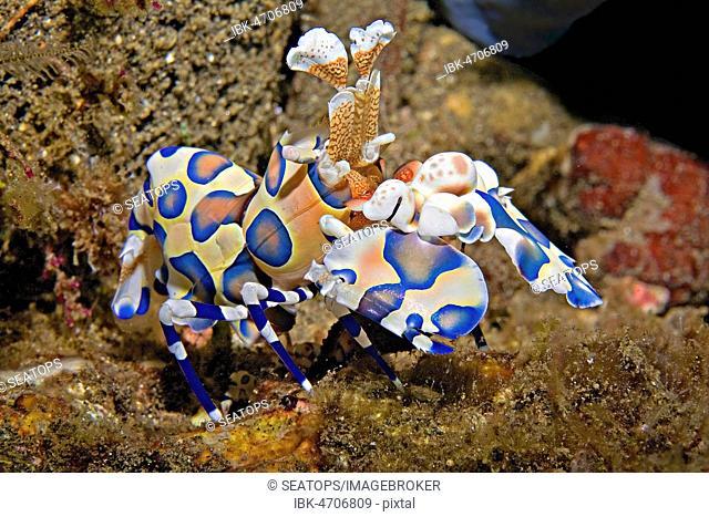 Harlequin shrimp (Hymenocera elegans, Hymenocera picta), blue color morph, Bali, Indonesia