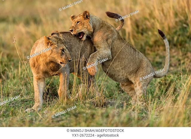 Sub adult lion cubs play fighting. Masai Mara National Reserve, Kenya