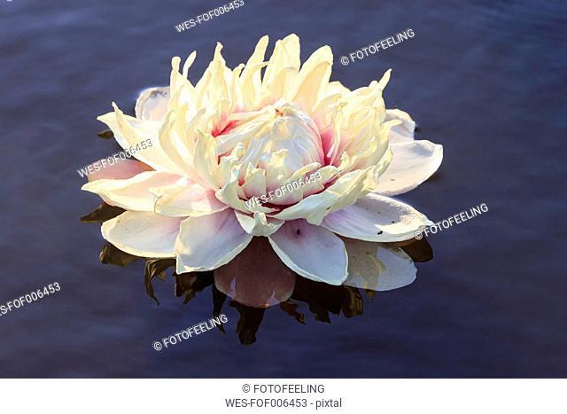 Brazil, Mato Grosso do Sul, Pantanal, Giant water lily blossom (Victoria)
