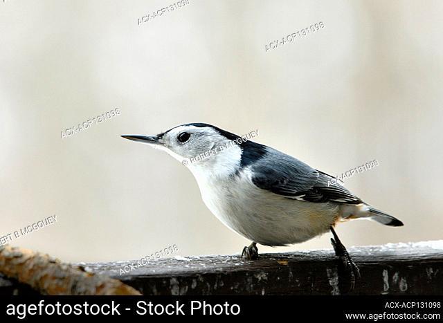 A white-Brested Nuthatch bird 'Sitta carolinensis', walking along a hand rail on a deck in rural Alberta, Canada