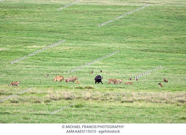 Cape Buffalo (Syncerus c. caffer), Spotted 'Laughing' Hyena (Crocuta crocuta), Lion (Panthera leo), confrontation, Ngorongoro Crater, Tanzania