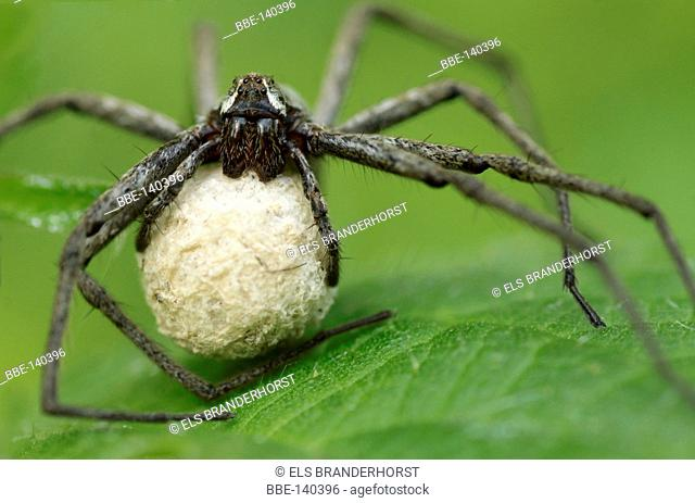 Nursing Nursery Web Spider She carries a cocoon with her eggs for 4 weeks, untill the little spiders are tall enough
