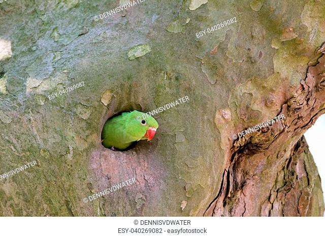 The Rose-ringed Parakeet (Psittacula krameri) nesting in a tree in the Vondelpark, Amsterdam, the Netherlands