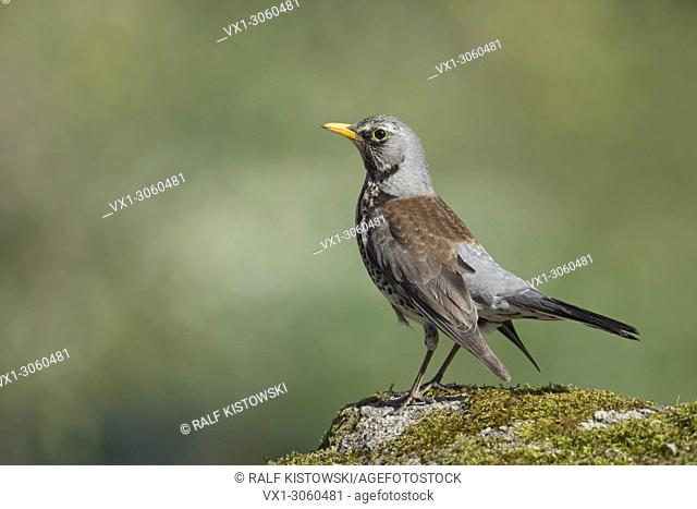 Fieldfare ( Turdus pilaris ), in breeding dress, perched on a rock, courting, excited, nervous, close-up, side view, wildlife, Europe