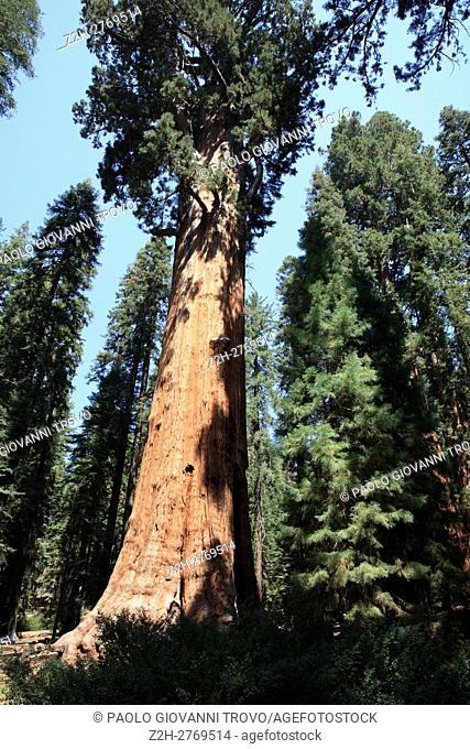 Giant Sequoia (Sequoiadendron giganteum) and spruce tree trunks, Sequoia National Park, California, USA