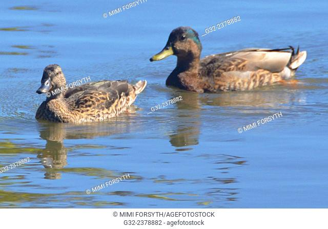 Hawai'ian duck couple (Anas wyvilliana), female in front. Maybe related to Mallards, found only in Hawai'i. USA