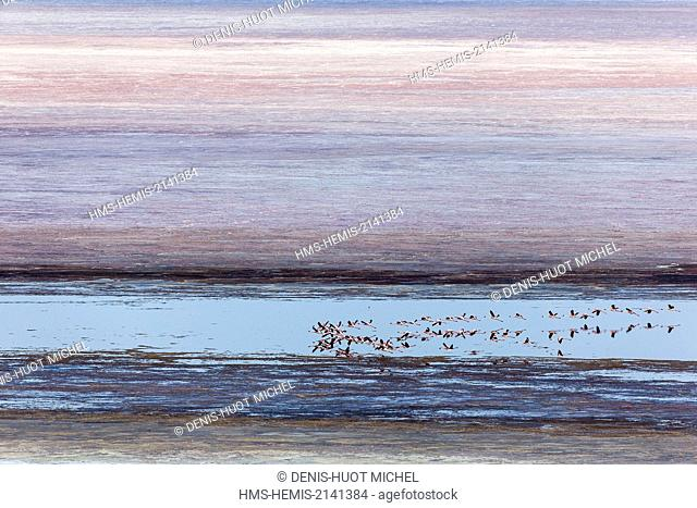 Kenya, Magadi lake, flamant nain, lesser flamingo (Phoeniconaias minor), in flight above soda, aerial view