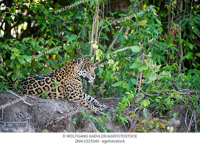 A Jaguar (Panthera onca) is laying on a river bank at one of the tributaries of the Cuiaba River near Porto Jofre in the northern Pantanal