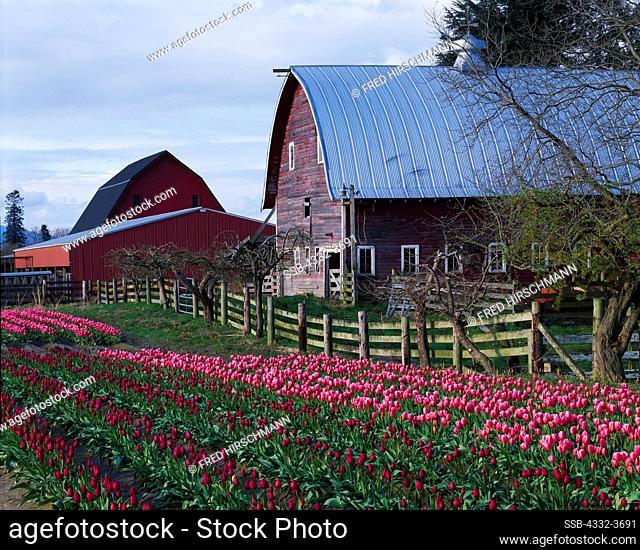 USA, Washington, Spring bloom of tulips at Skagit Valley Bulb Farm during Skagit Valley Tulip Festival near Mount Vernon