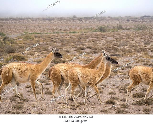 Guanaco (Lama guanicoe), National Park Los Cardones near Cachi. Argentina