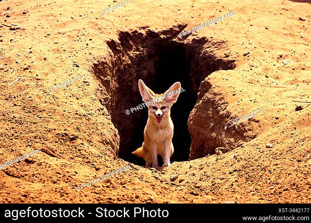 Fennec fox, (Vulpes zerda) near its burrow , Photographed in Israel