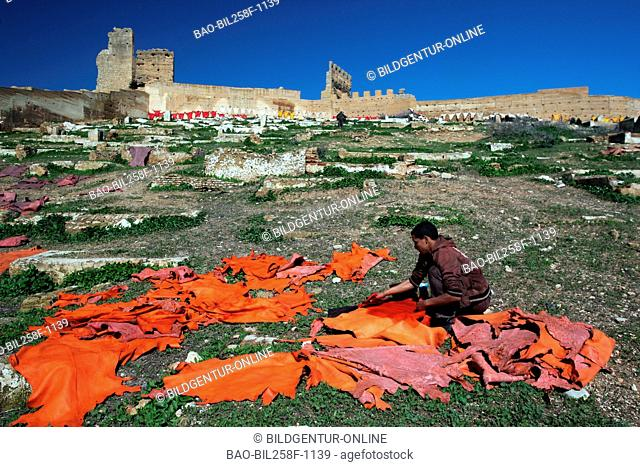 Coloured leather is dried in the air with a Lederfärberei with the old city wall about the Madina or Old Town by fez in the north of Morocco in North Africa