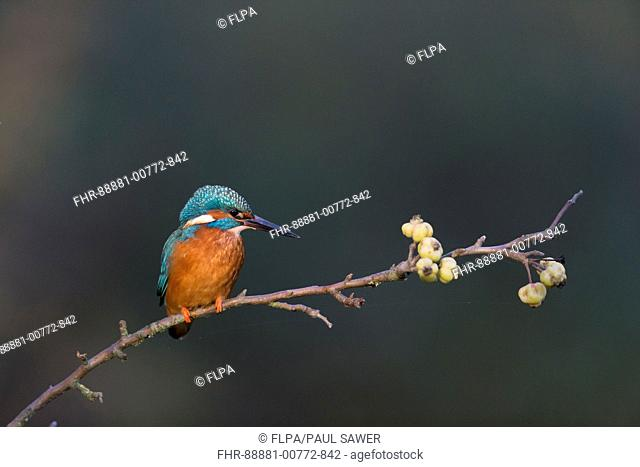 Common Kingfisher (Alcedo atthis) adult male, perched on crab apple branch, Suffolk, England, November