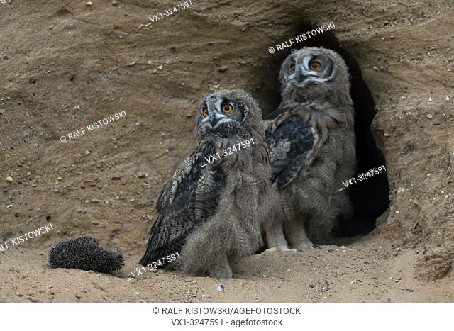 Eurasian Eagle Owls / Europaeische Uhus ( Bubo bubo ), chicks with the carcass of a hedgehog in front, at nesting site, at dusk, late in the evening