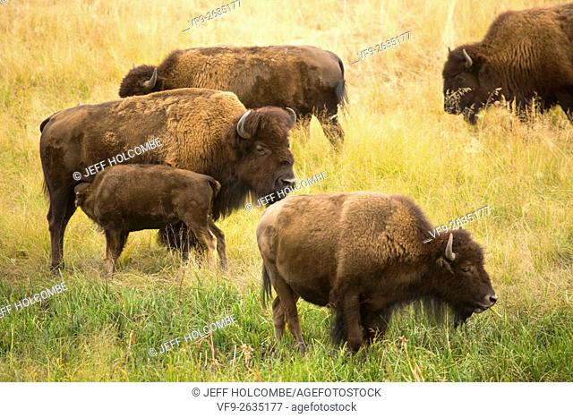 Part of a herd of bison, including a young calf nursing, grazing in the sagebrush plains of the Lamar Valley in Yellowstone National Park, Wyoming