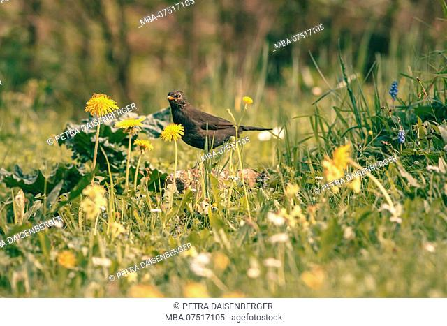 A blackbird sits in the meadow and observes the surroundings