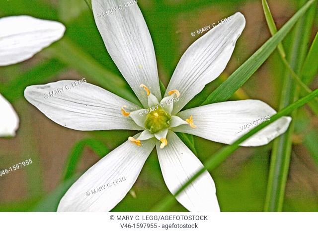 Open Pyrenes Star of Bethlehem, Ornithogalum umbellatum, Caryophyllaceae  Sleepydick  Small white wild flower  From above  Toxic plant  Listed in US agriculture...