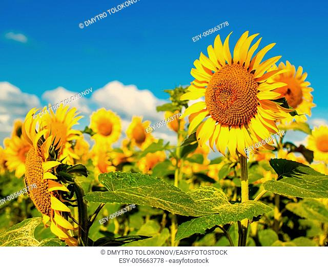 Beauty Sunflowers on the field, natural landscape