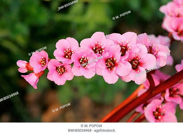Bergenia cordifolia Bergenie Morgenröte