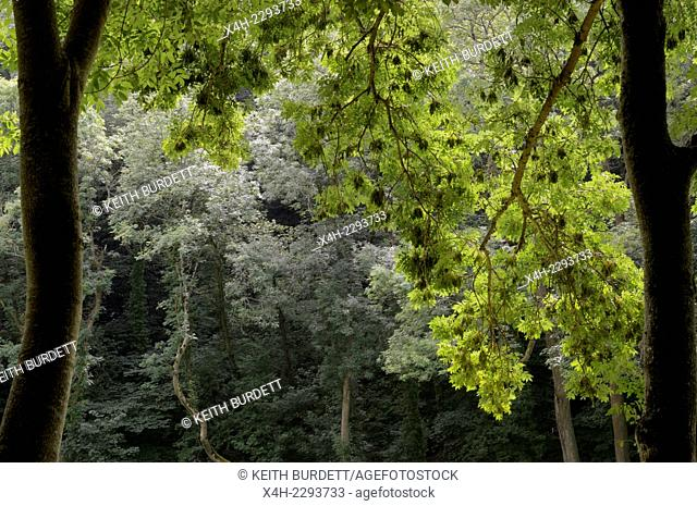Fraxinus excelsior, European Ash tree with bunches of winged seeds, keys, samara, Wales, UK