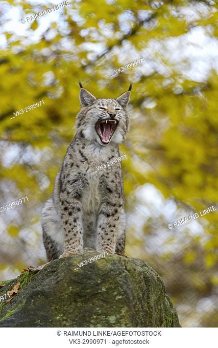 Eurasian Lynx, Lynx lynx, in Autumn, Germany, Europe