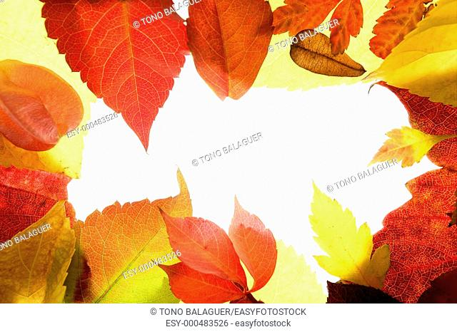 Autumn leaves frame, studio over white background, using leaf transparency