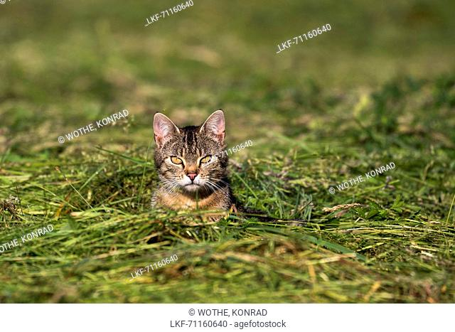 domestic cat in fresh cut grass, Bavaria, Germany, Europe