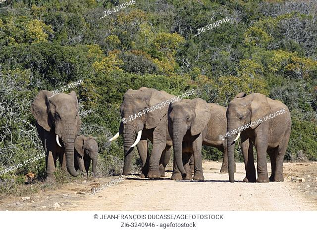 African bush elephants (Loxodonta africana), herd with elephant baby, standing on a dirt road, Addo Elephant National Park, Eastern Cape, South Africa, Africa