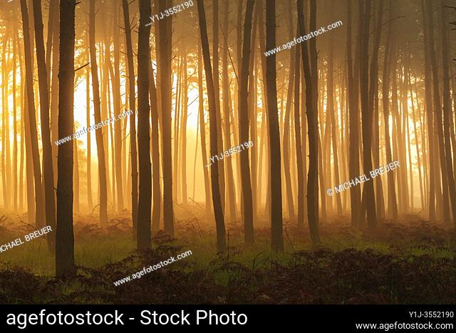 Pine Forest on misty morning at sunrise, Hesse, Germany, Europe