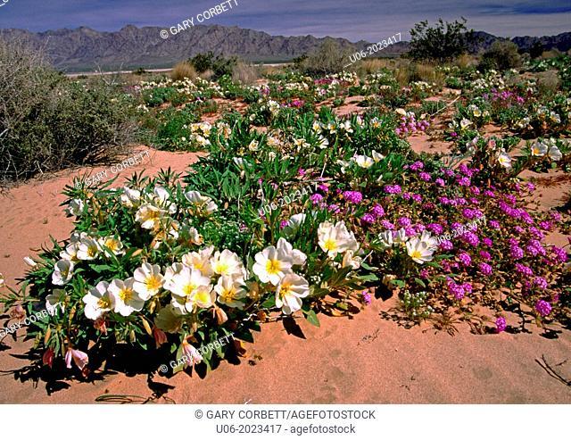 Desert primrose in the Mojave Desert along route 62 in California, USA