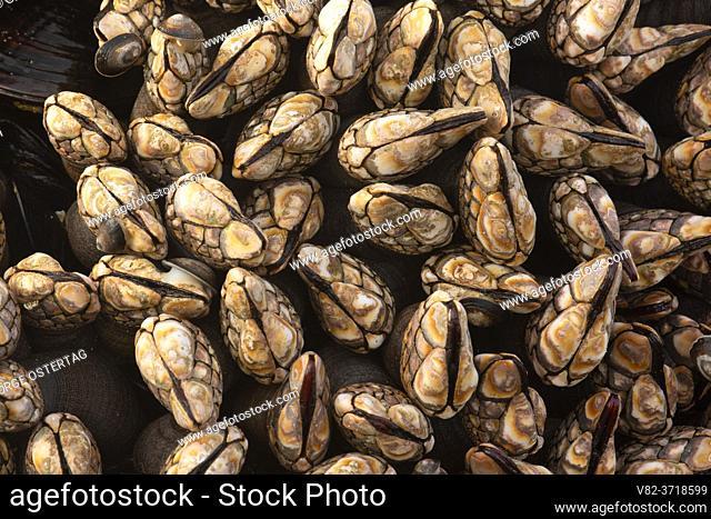 Gooseneck barnacles (Pollicipes polymerus), Yachats State Park, Oregon