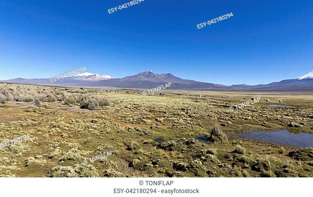 Andean panorama: landscape of the Andes Mountains, with snow-covered volcano in the background, and a group of llamas grazing in the highlands