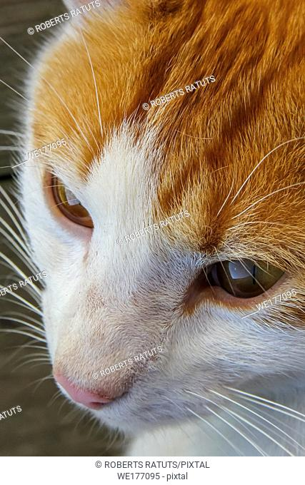 Cute red white cat portrait. Portrait of ginger white cat. Cat is small domesticated carnivorous mammal with soft fur