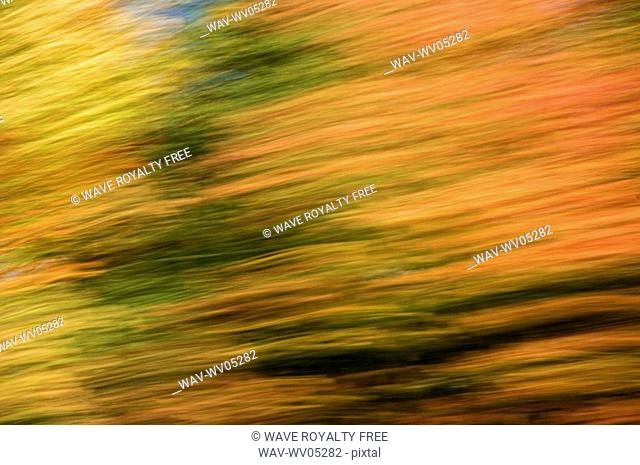 Autumn maple, fir and pine trees photographed from a moving vehicle  Algonquin Privincial Park, Ontario  Canada