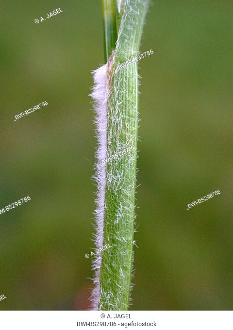 hairy sedge (Carex hirta), hairy sprout, Germany