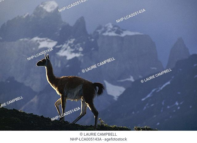 GUANACO Lama guanicoe on hilltop at dawn